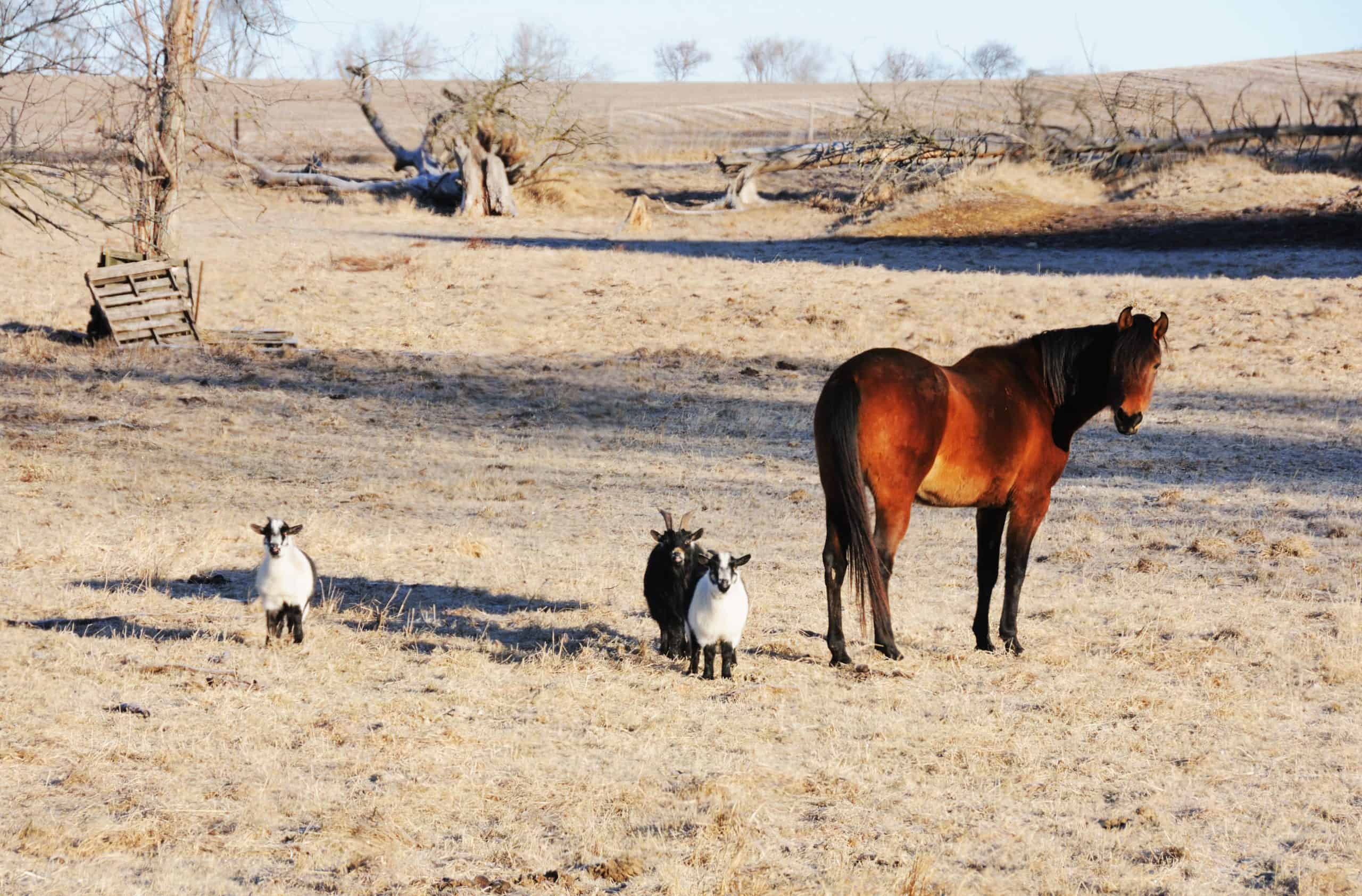 Brown horse in dry pasture with three goats.