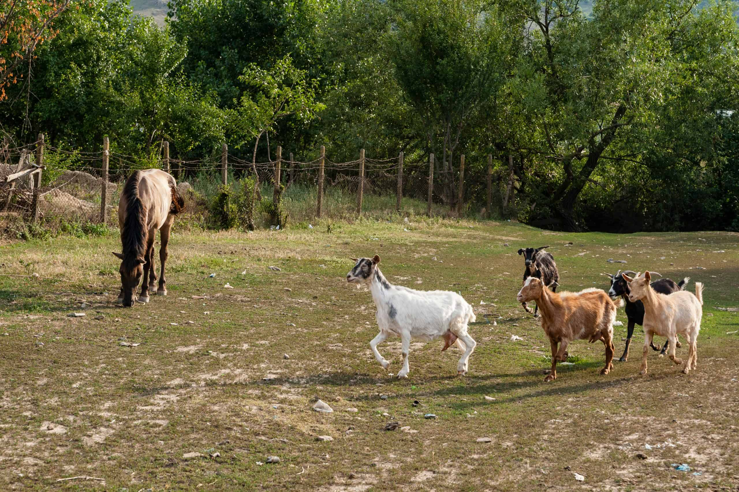 A horse is pasturing on a lawn while some goats walk past it.