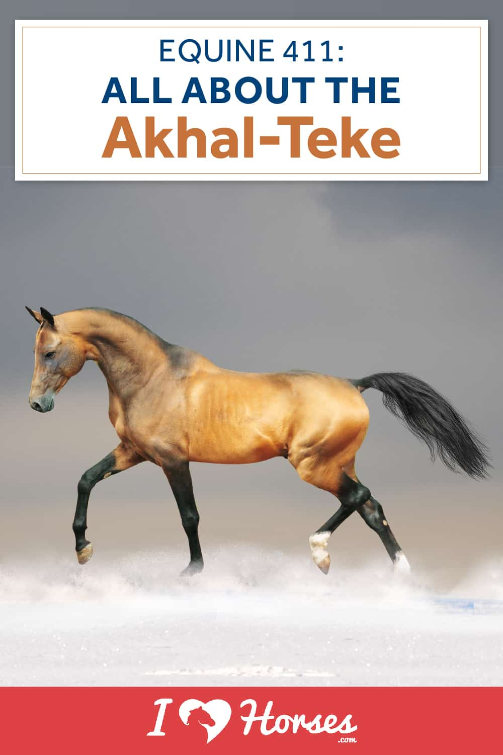All About The Akhal-Teke