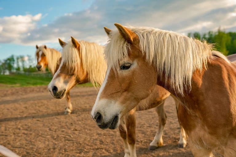 Haflinger horses (Avelignese) at a equestrian centre