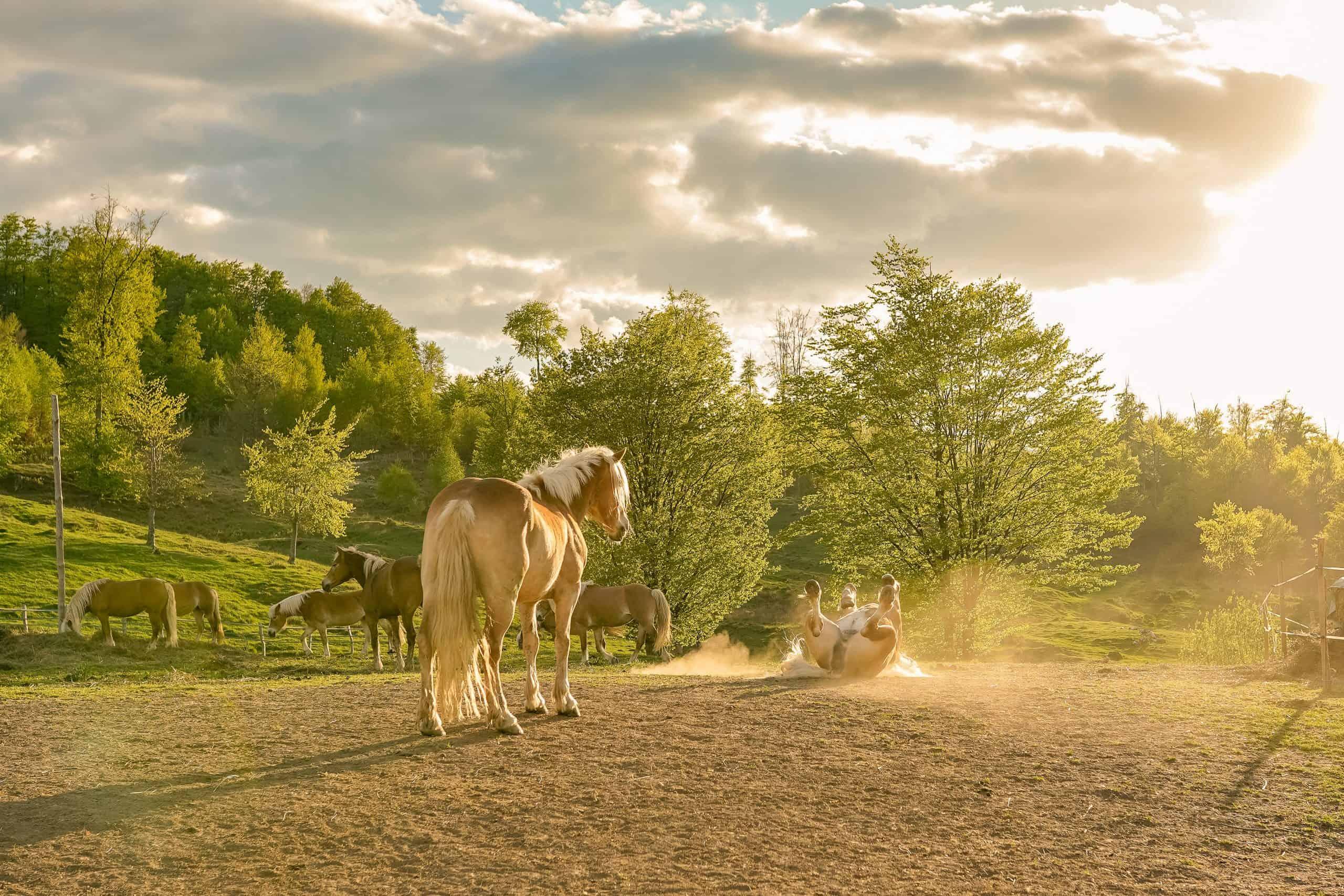 Haflinger horses at a horse farm
