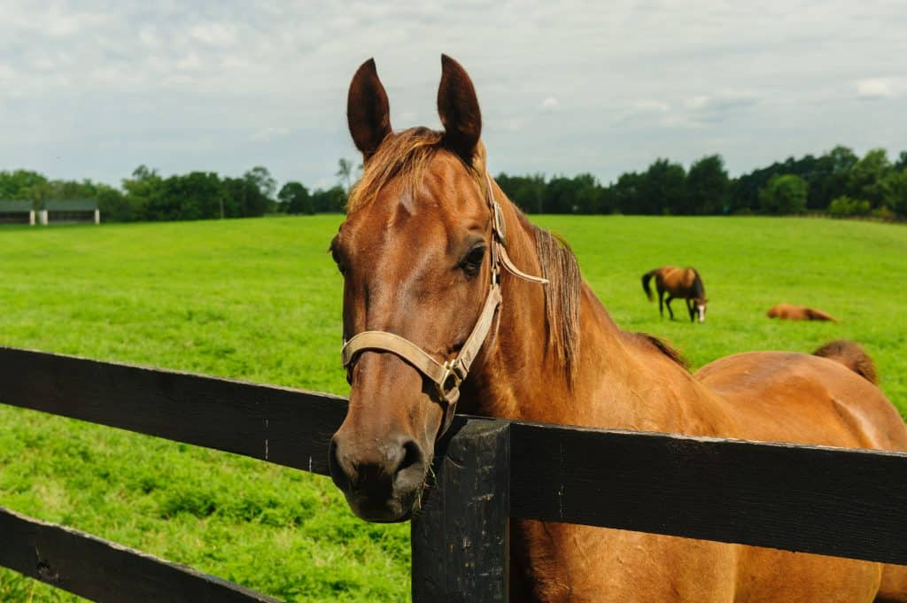 Thoroughbred looking over the fence