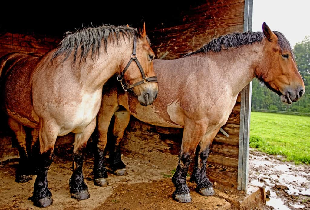Ardennes Horses