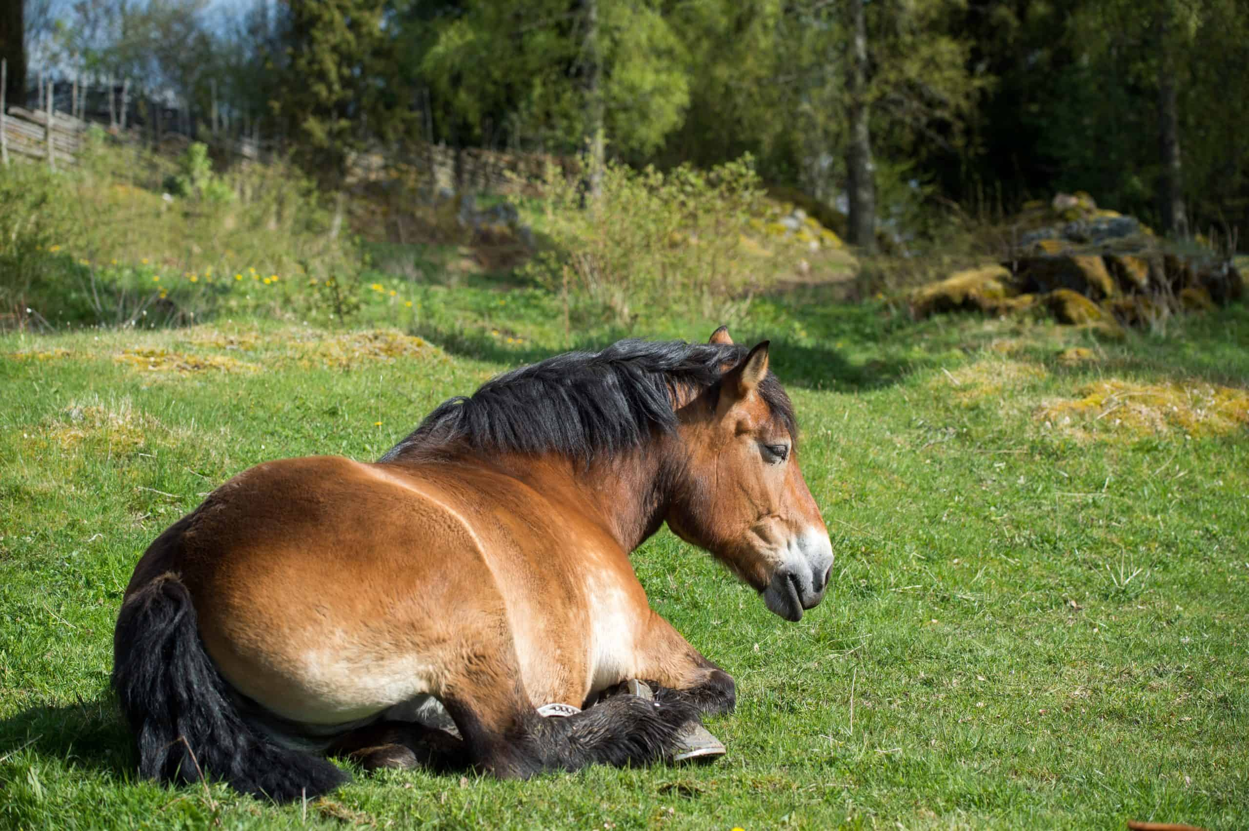 Ardennes horse resting on a sunny day in early May in the Swedish countryside of Smaland