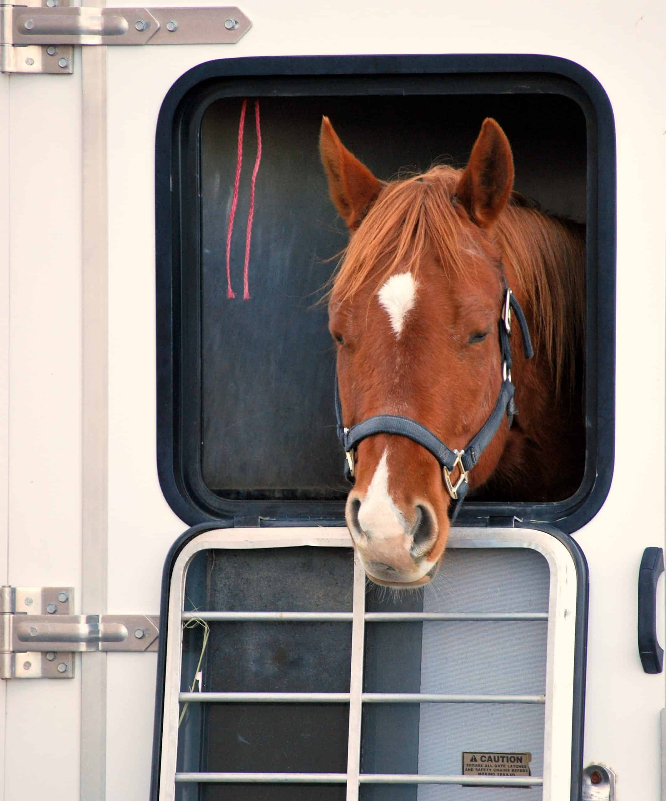 Horse portrait inside a transport trailer.