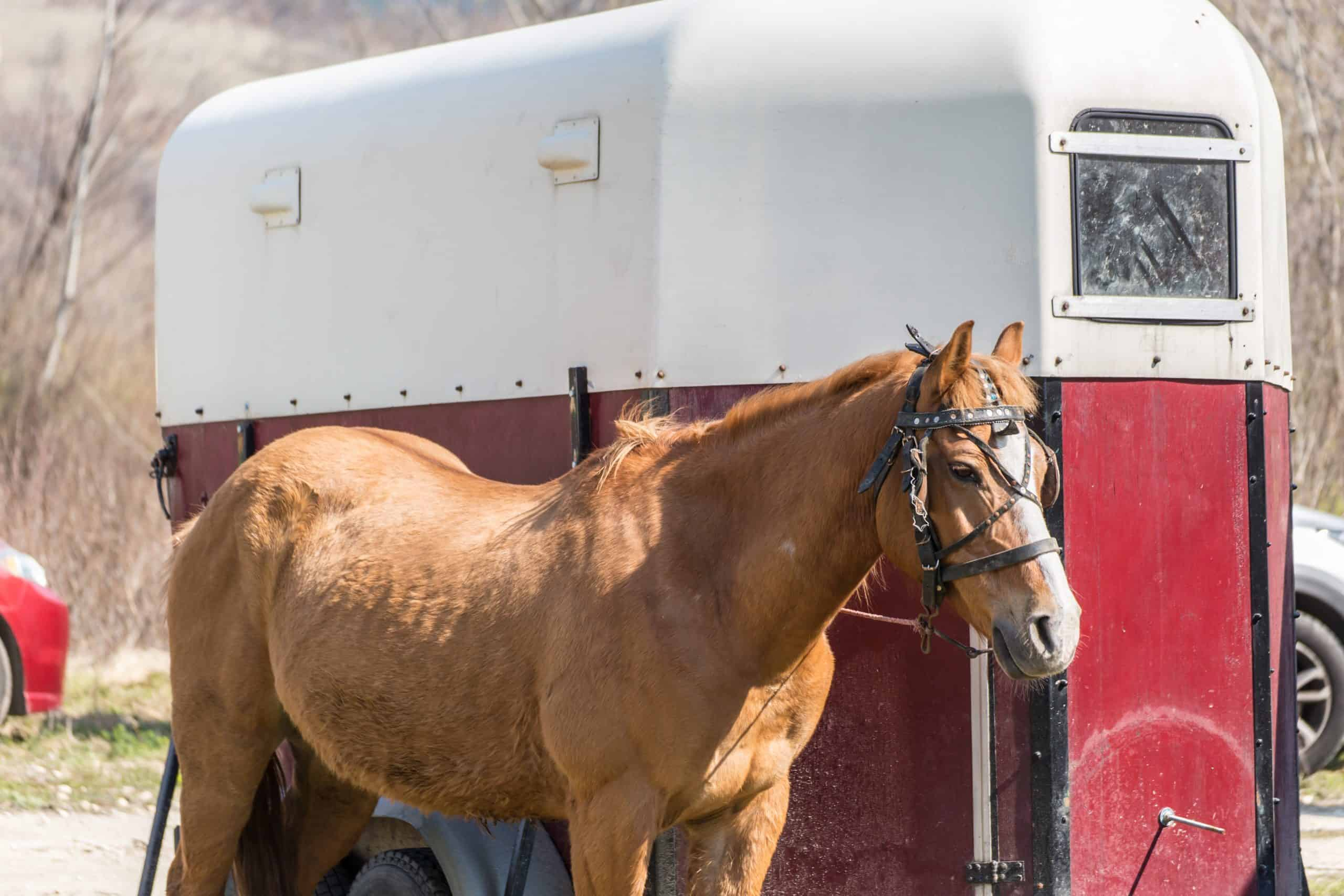 Brown horse in front of a special horse trailer
