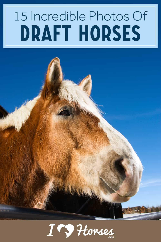 Incredible Photos Of Draft Horses