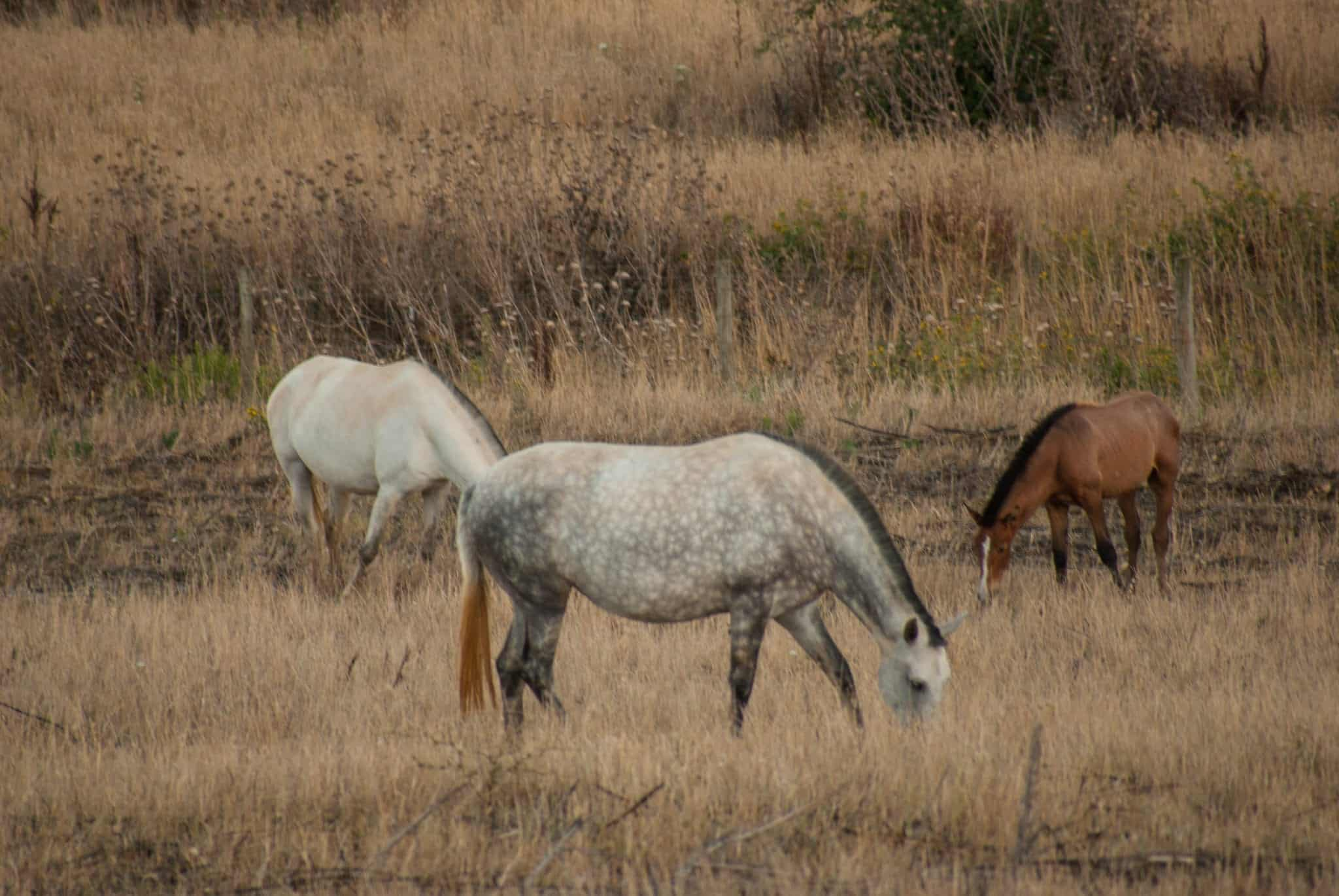 Lusitano Horses in the wild