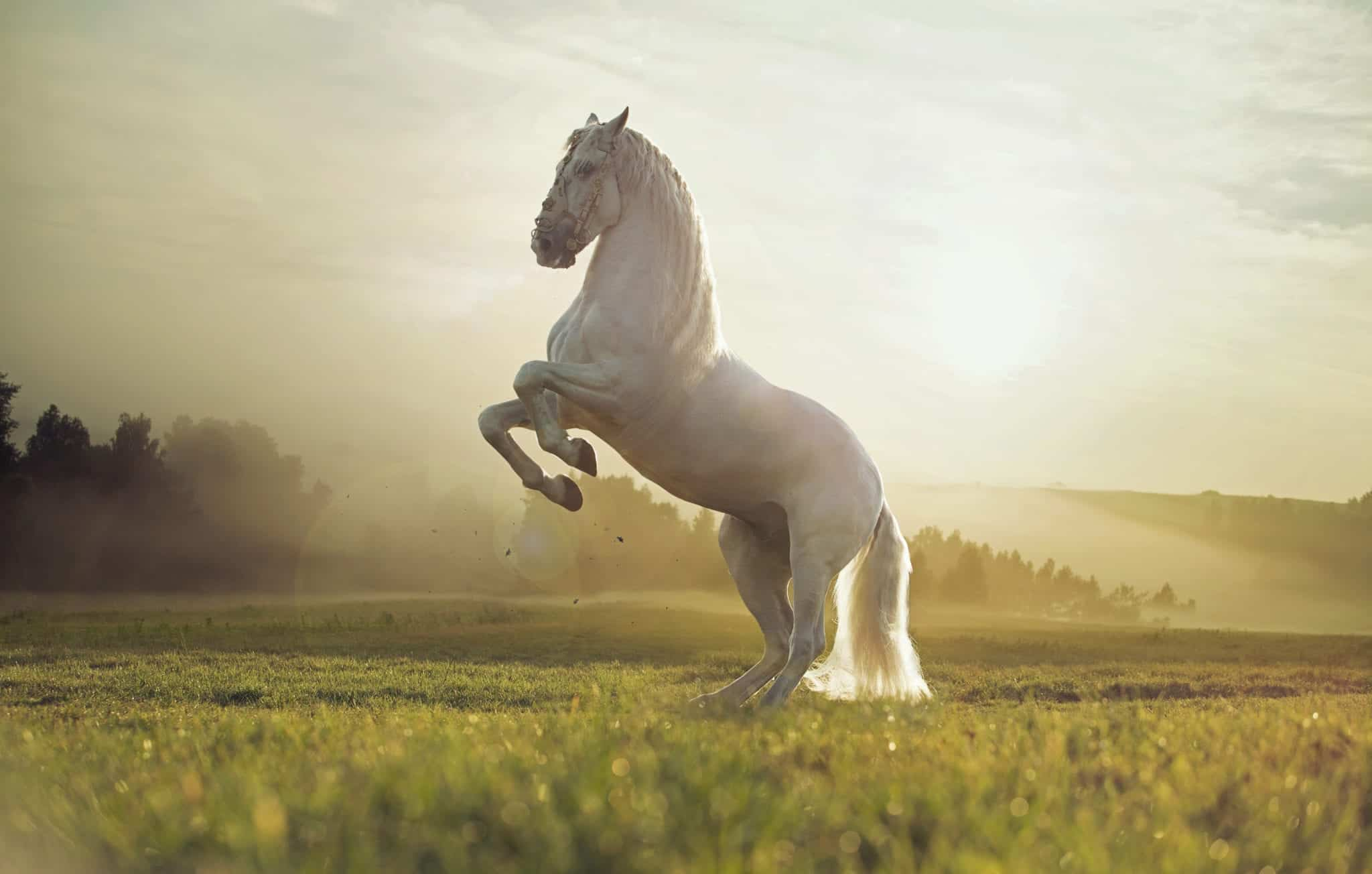 Majestic photo of strong royal white horse