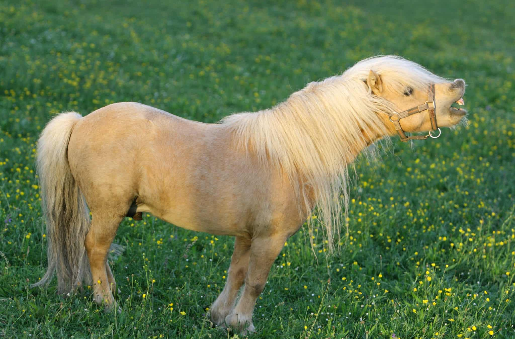 Neighing falabella stallion.