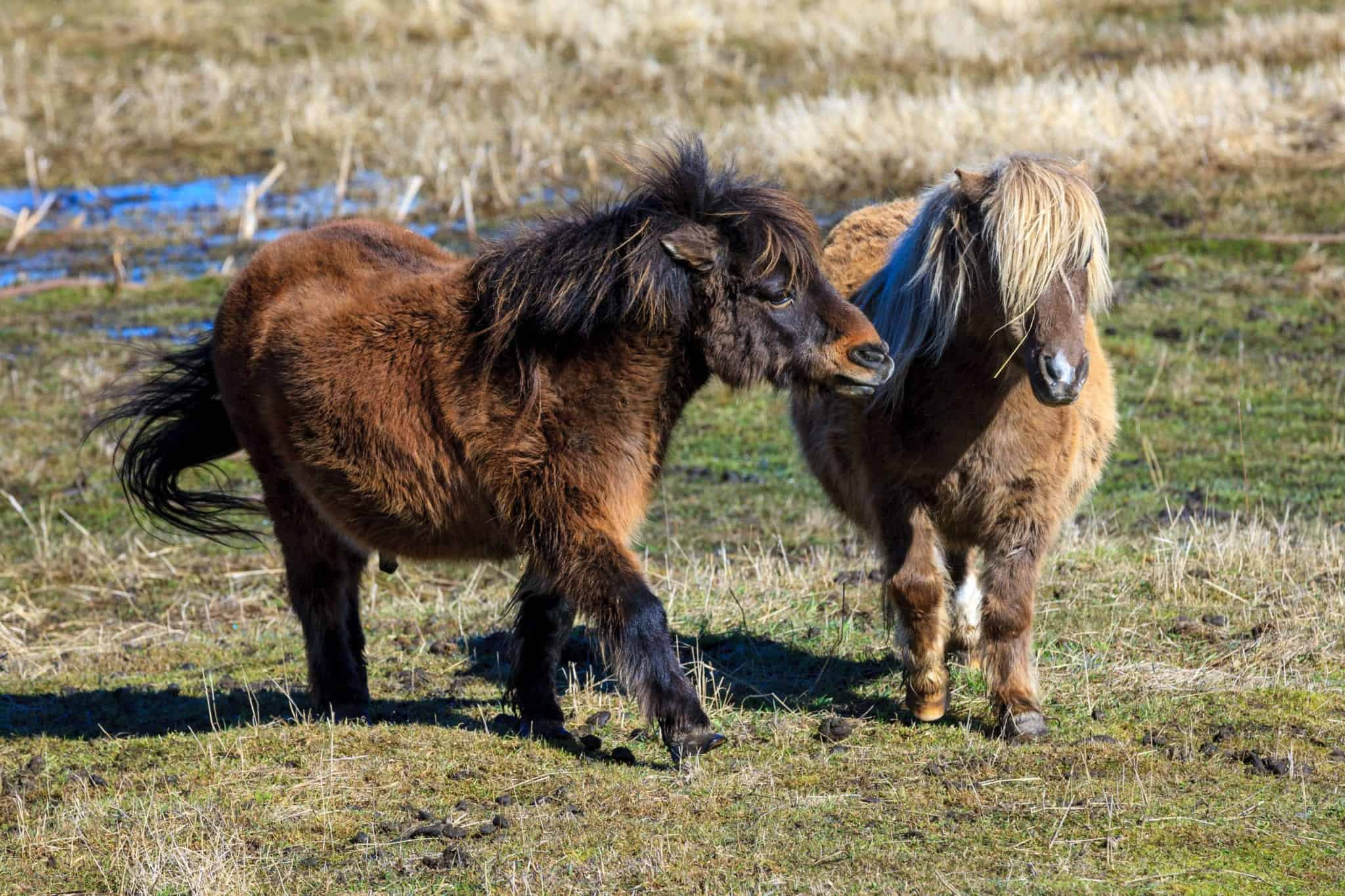 Two cute miniature horses interact in a field near Harrison, Idaho.