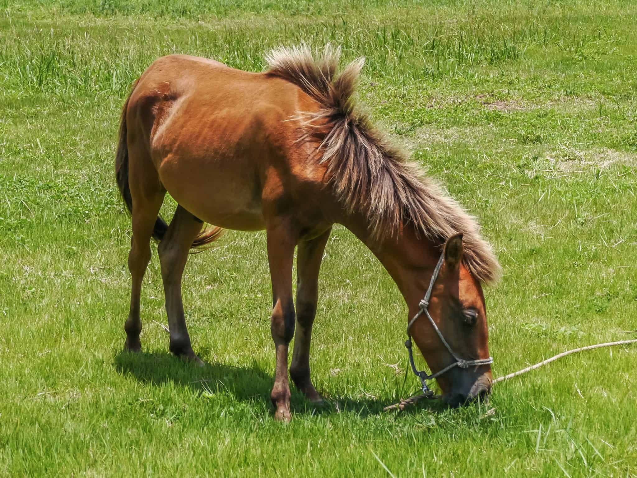 Yonaguni Horse, native breed horse to the Yonaguni Island, western border island of Japan. It's a part of Okinawa.