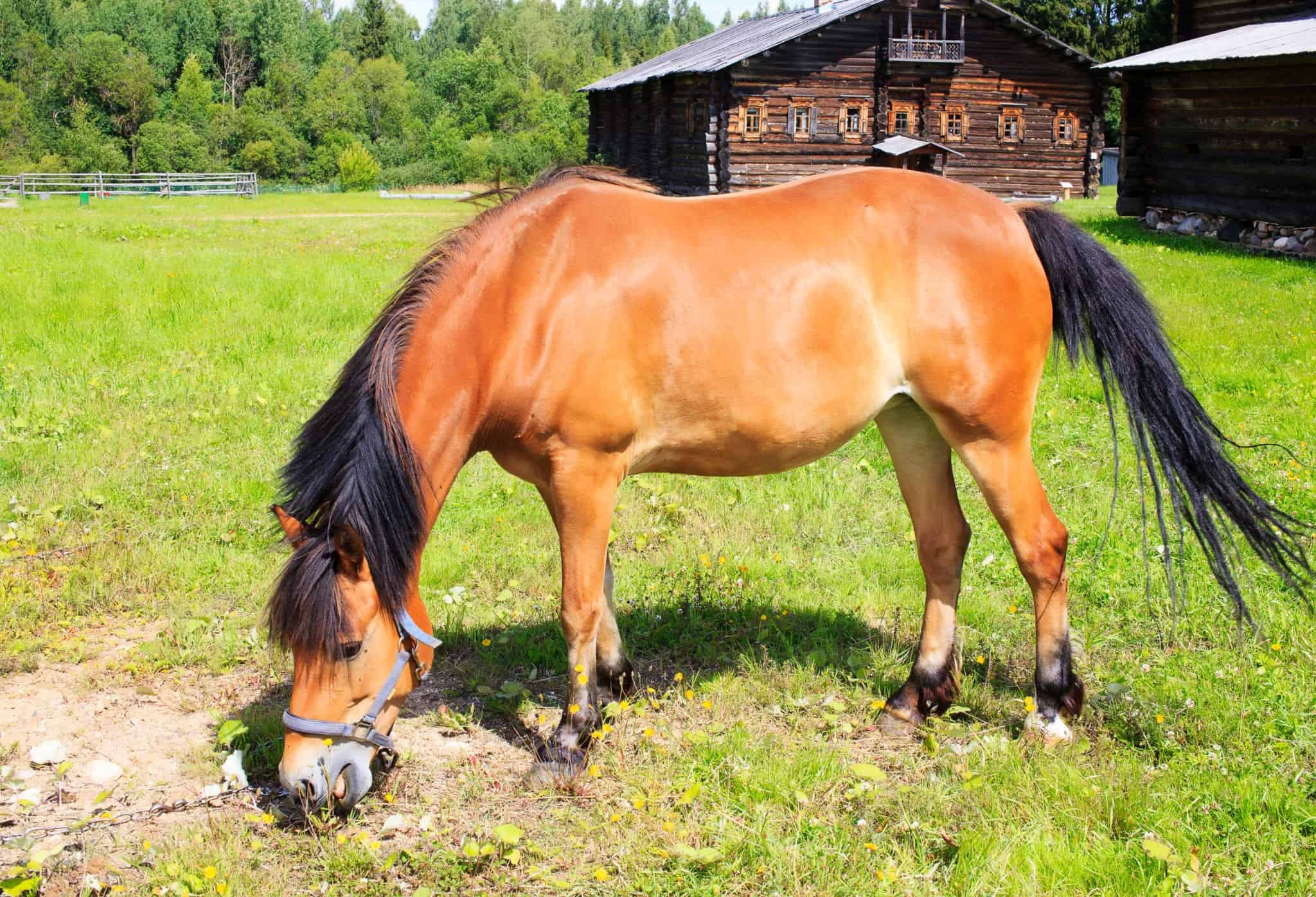 Buckskin horse grazes on the chain on the lawn in the village