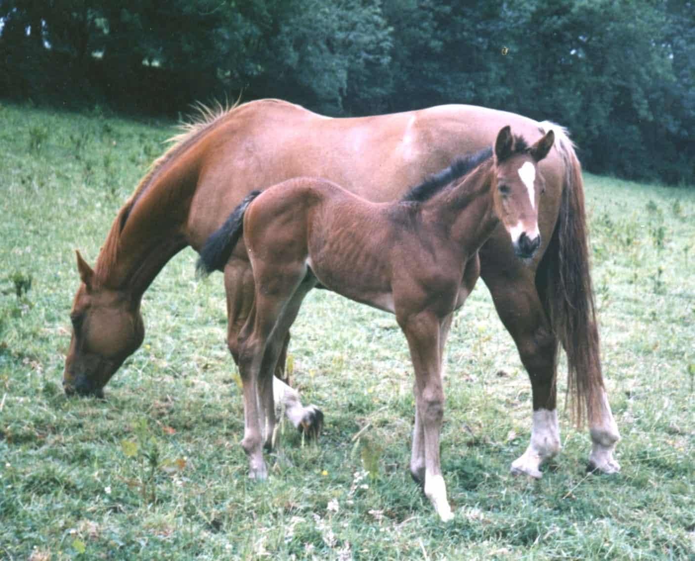 irish sport horse foal