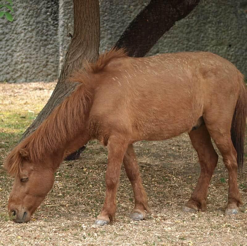 noma pony