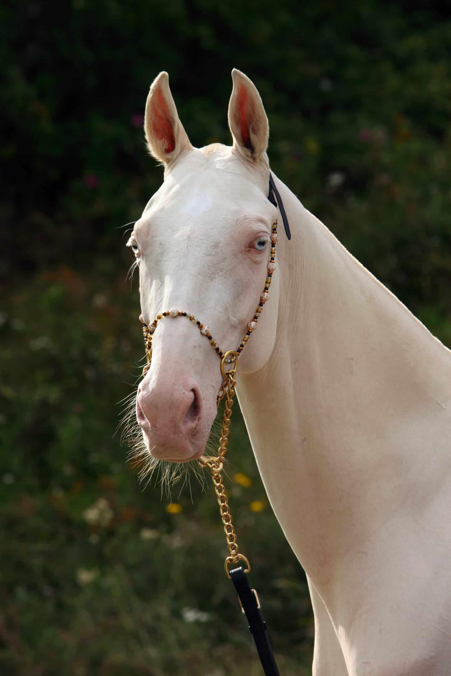 Blue-eyed Cremello akhal-teke horse portrait