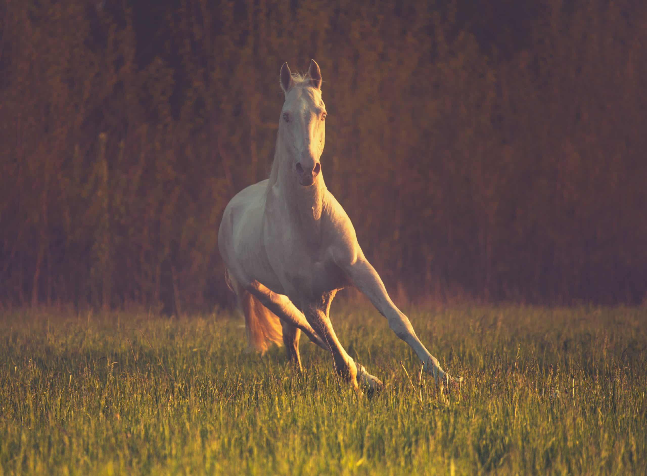 Cremello horse runs on the grass on dark forest background