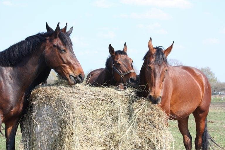 Horse herd eating dry hay bales