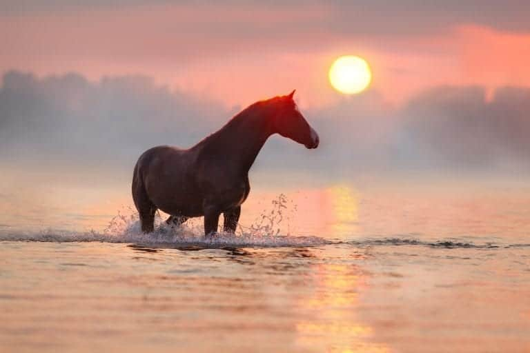 Red horse standing at sunrise in water