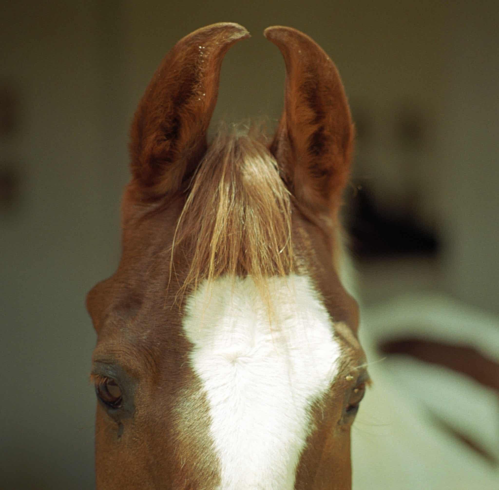Head shot of Marwari horse with characteristic curved ears.