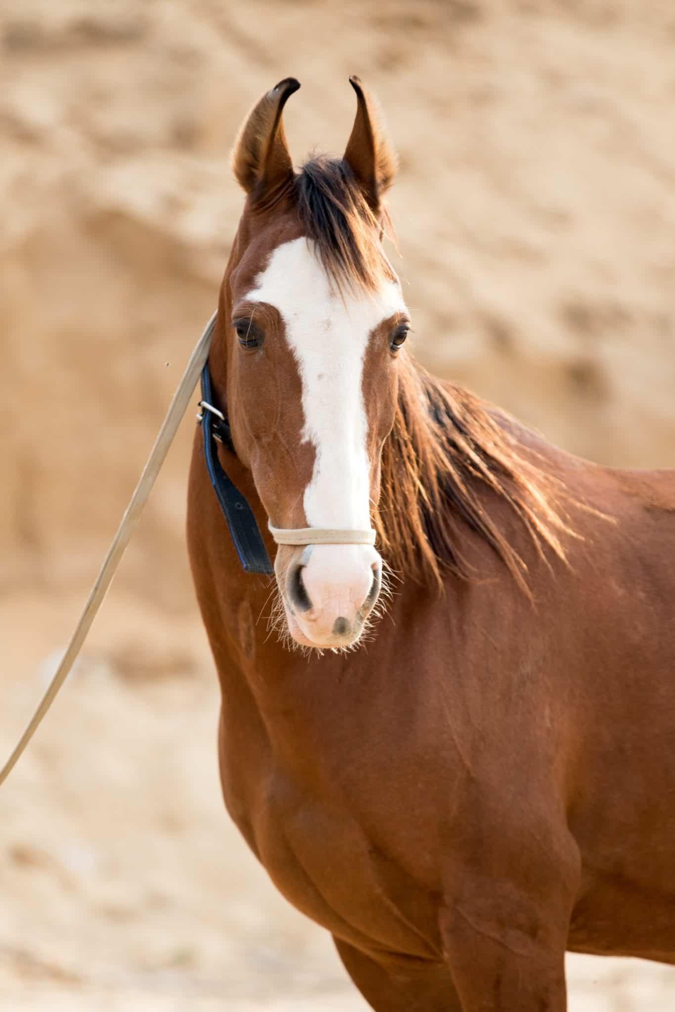 Portrait of a chestnut marwari horse.