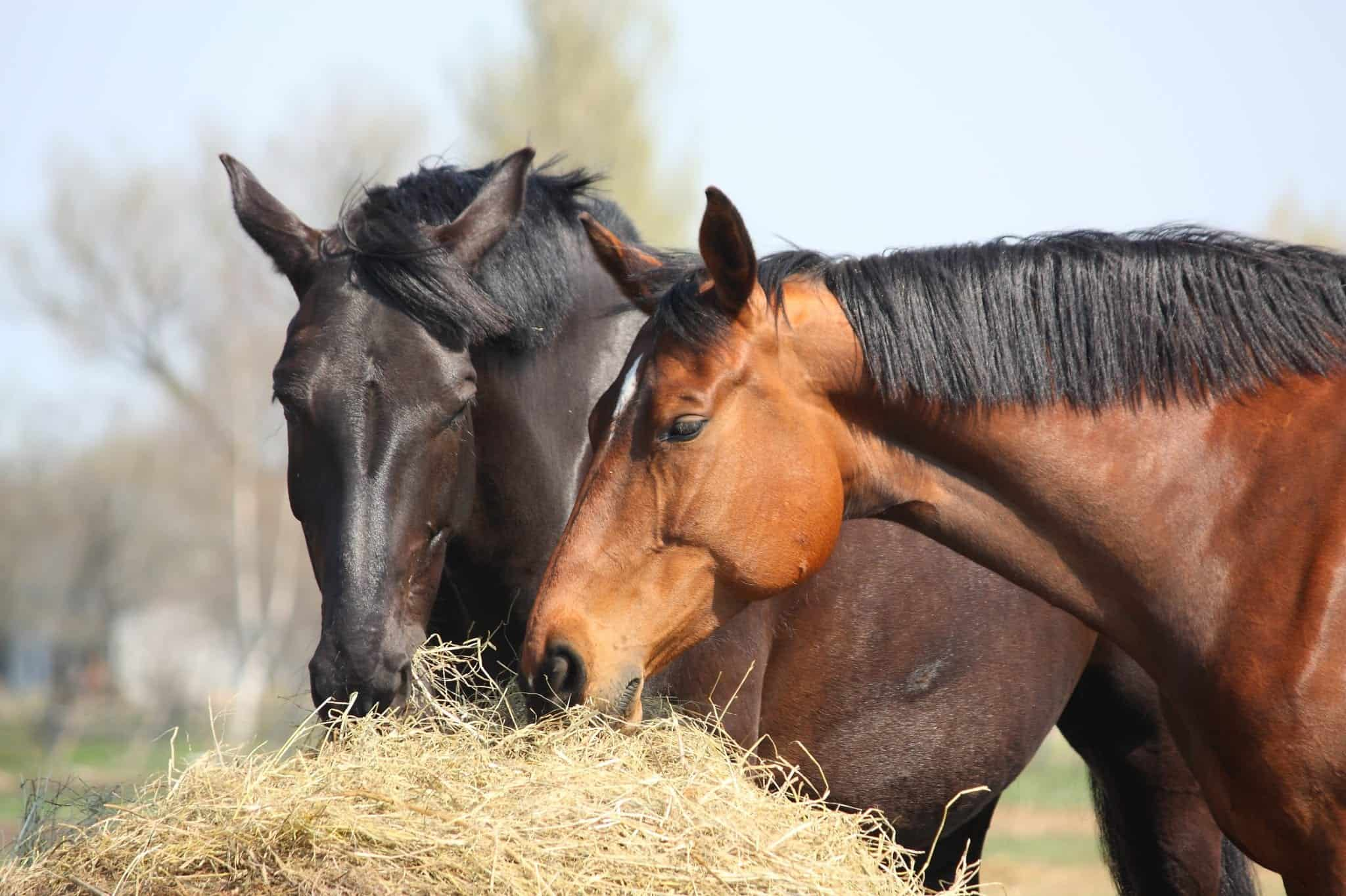 Black and chestnut horses eating hay bales