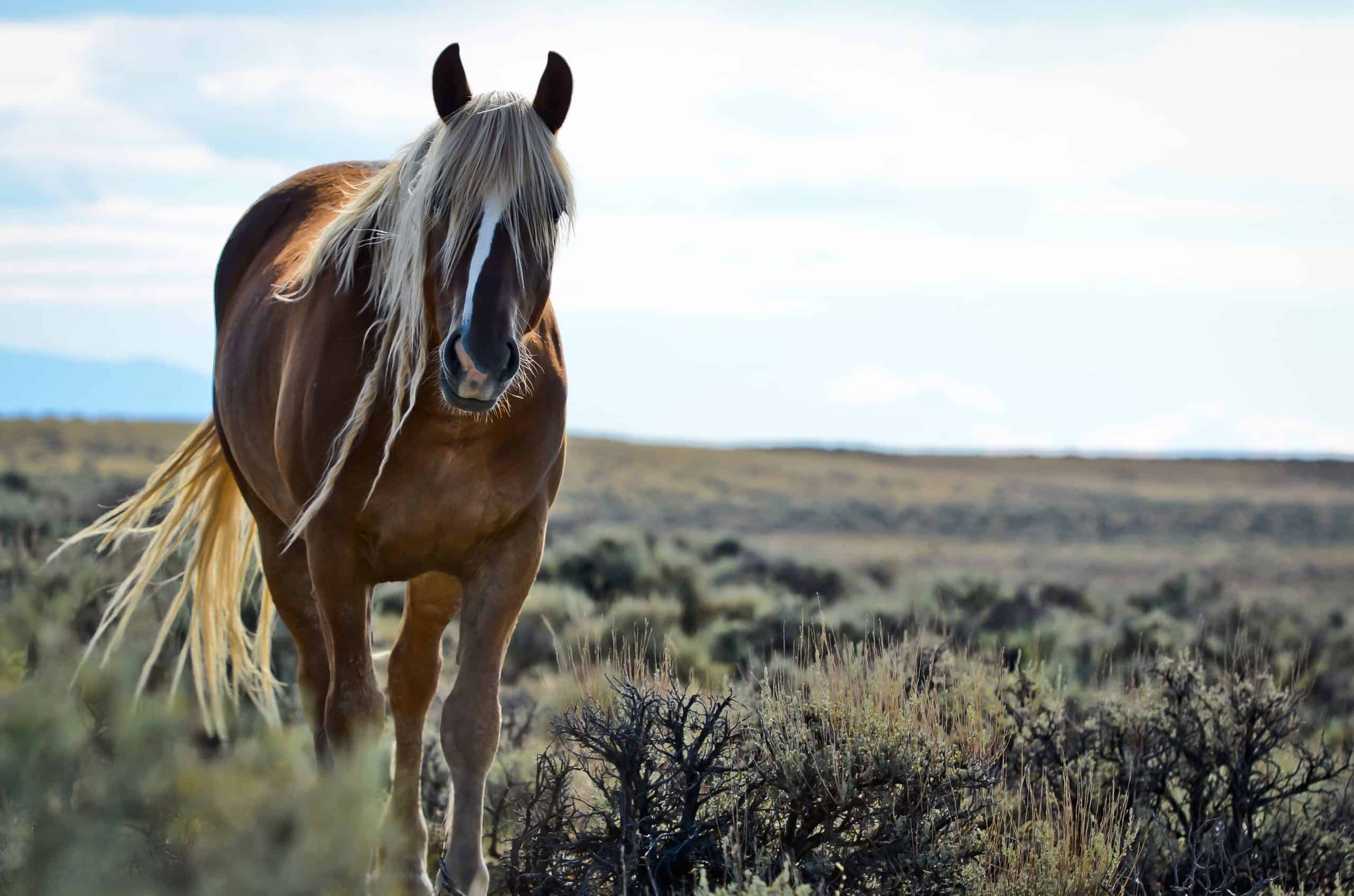 Wild Mustang near Cody, Wyoming.