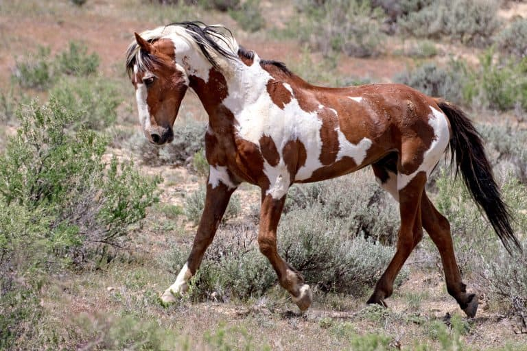 Iconic wild mustangs photographed in the American West, where horses still run free.