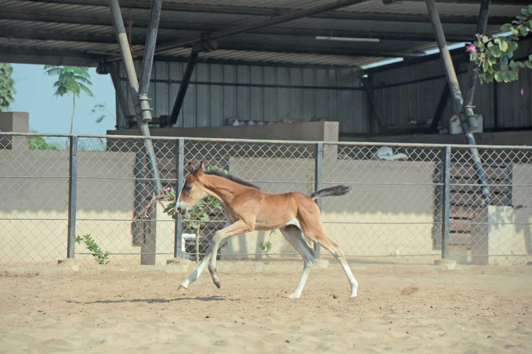 running Marwari horse chestnut colt in paddock. India