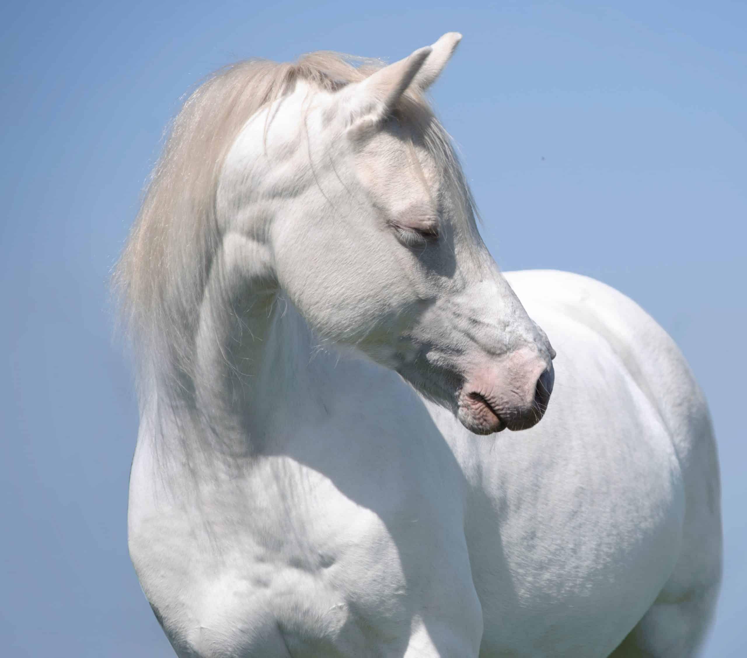 white cremello horse portrait on the blue sky