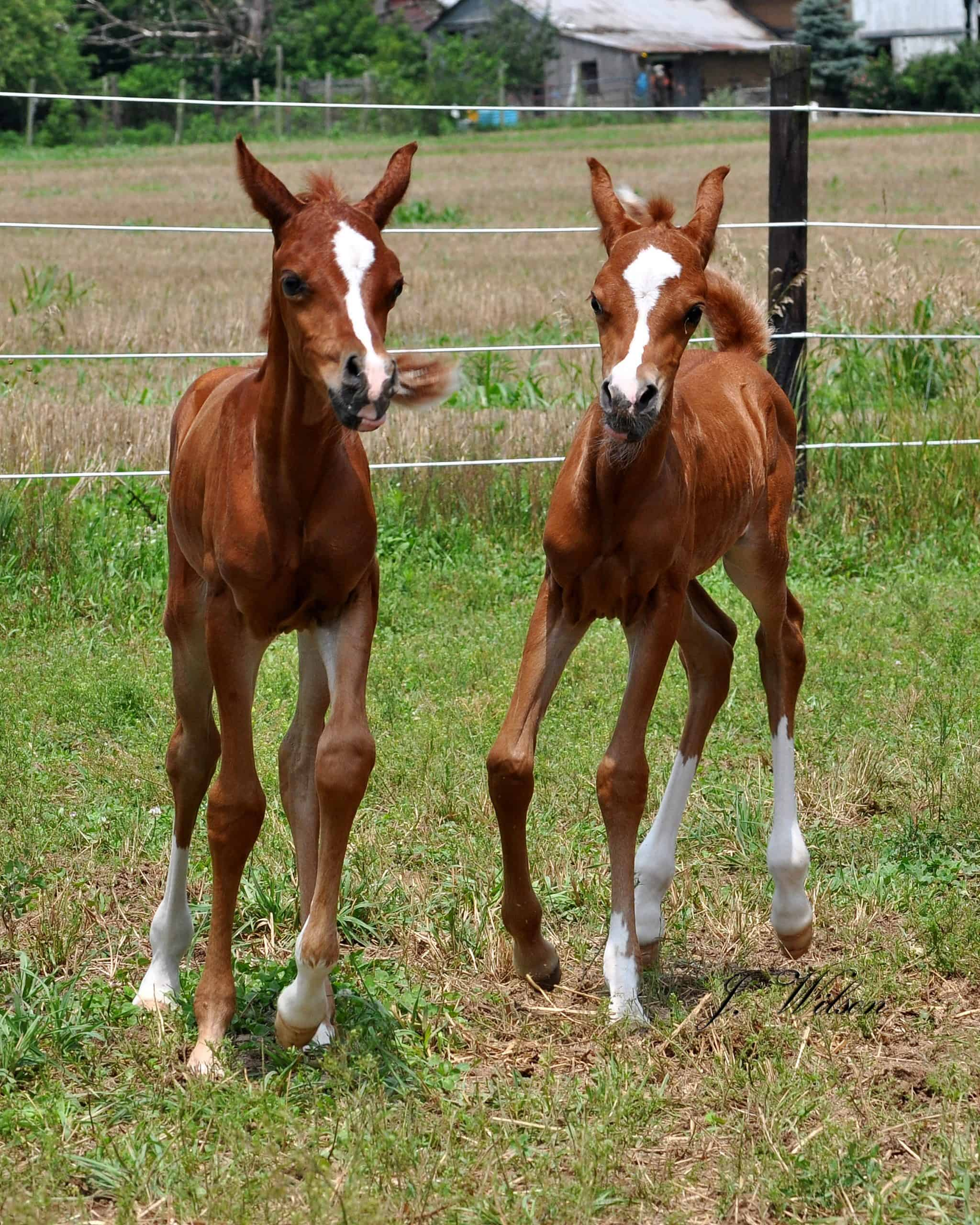 horse twins