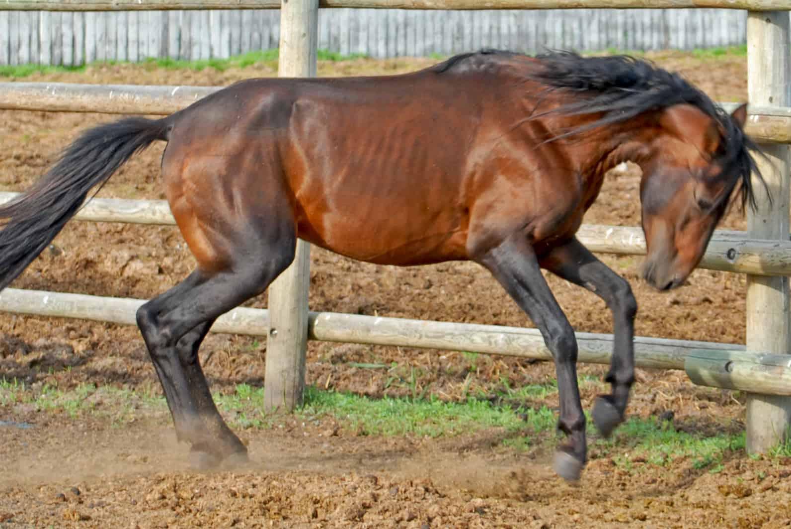 oldest horse breeds caspian horse