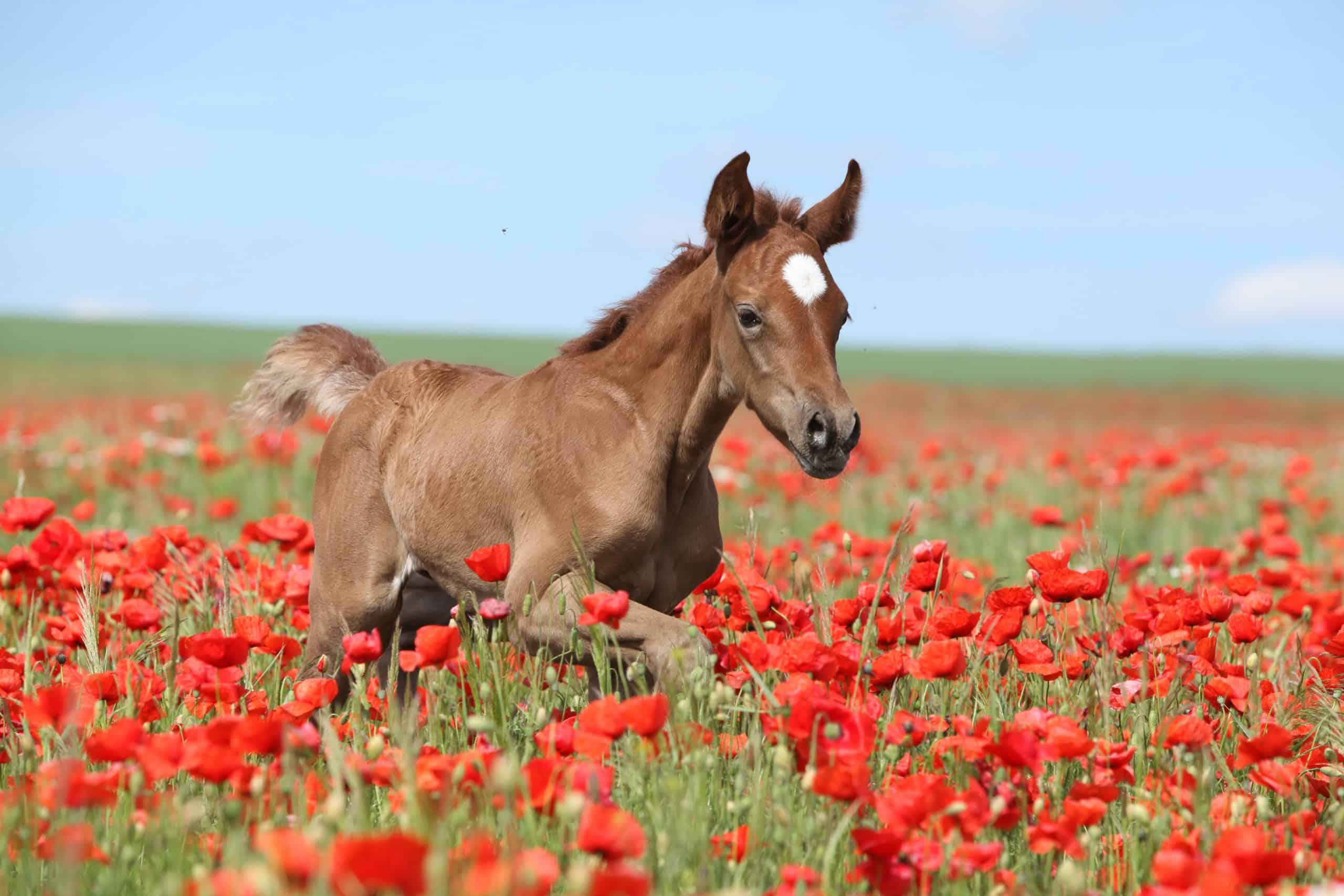 Arabian horse running in red poppy field