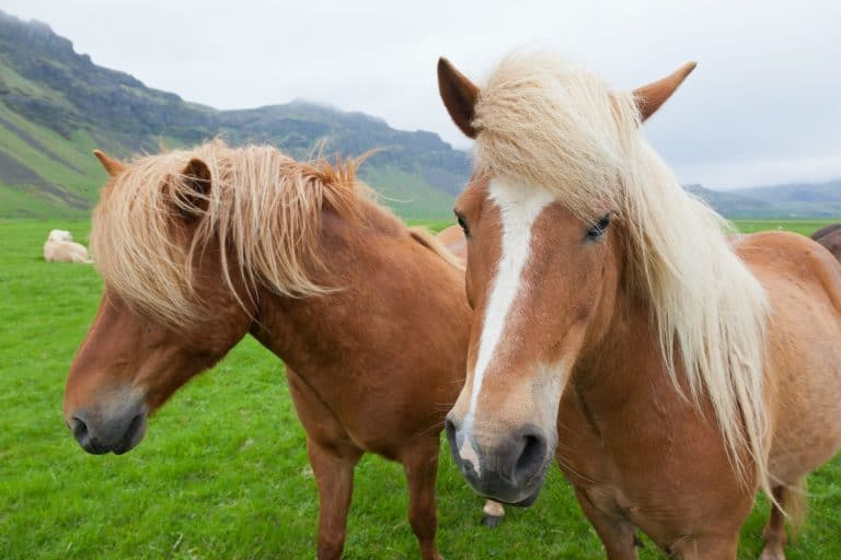 Two nice Icelandic horses with chestnut hair coat walking in a icelandic summer