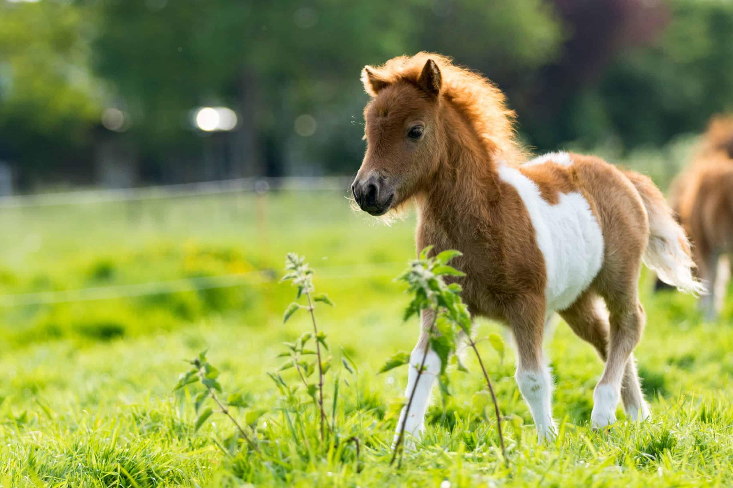 Cute shetland foal walking throguh the meadow, exploring the world.