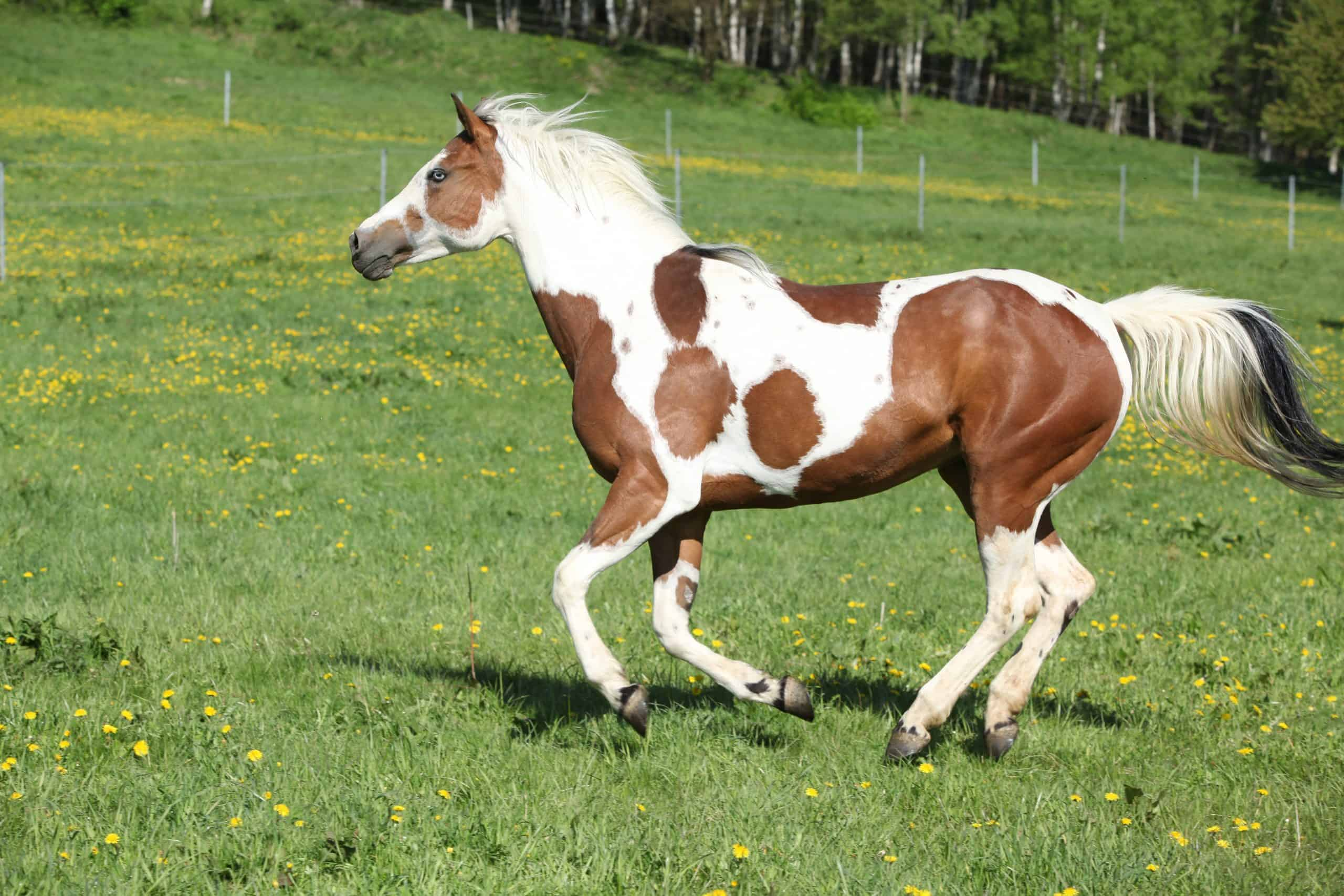 Gorgeous paint horse mare running on springs pasturage