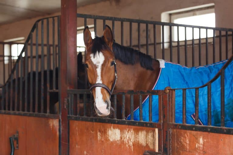 Horse wearing a blue blanket at the stable