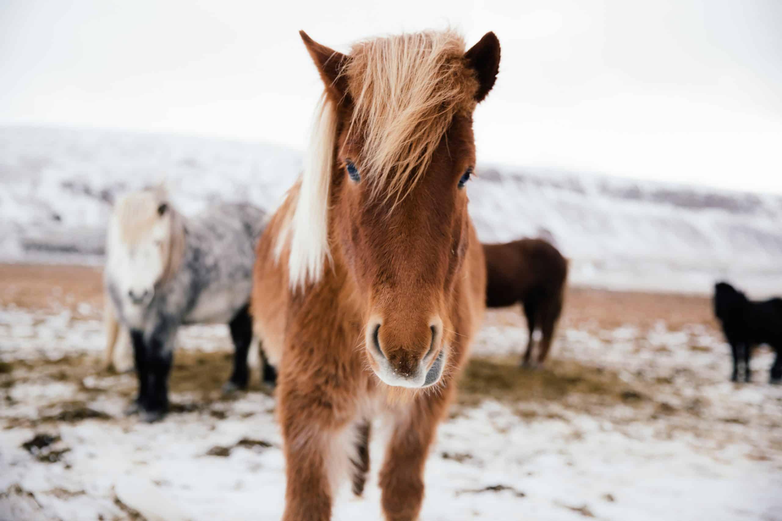 oldest horse breeds Icelandic Horse