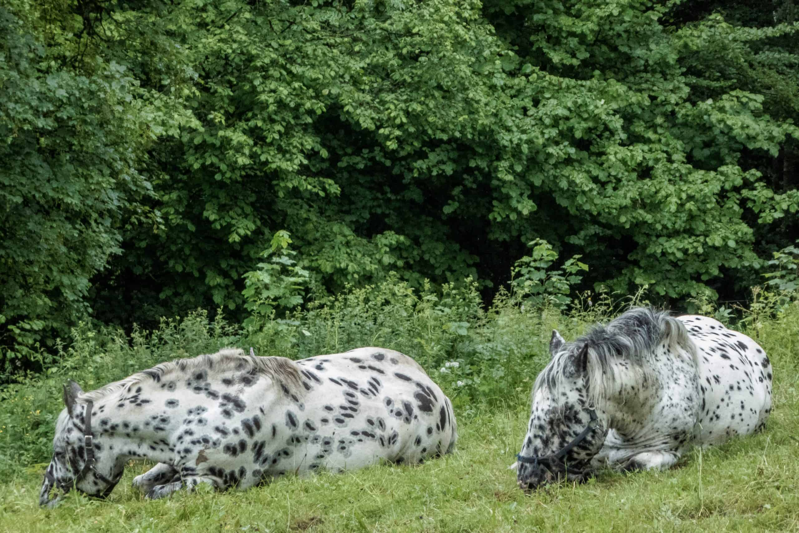 Knabstrupper is a danish horse breed, with an unusual coat pattern from solid white to full leopard spotted. Photograph taken near Kreuth, Bavaria, Germany.