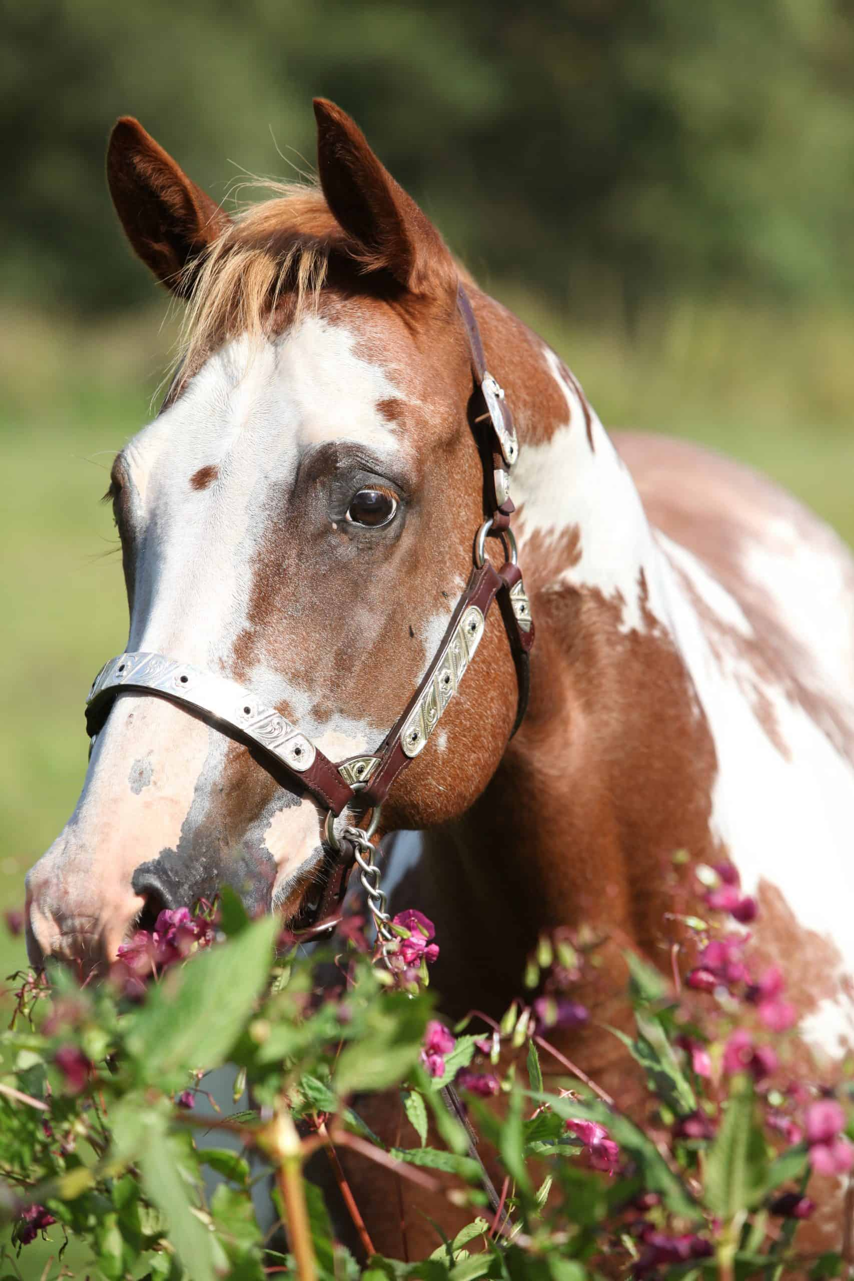 Paint horse with western halter behind flowers