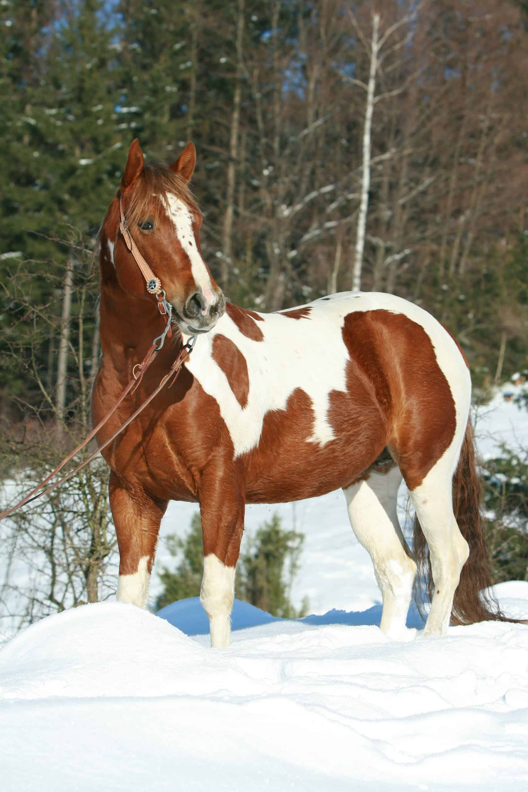 Lovely paint horse with western bridle in winter