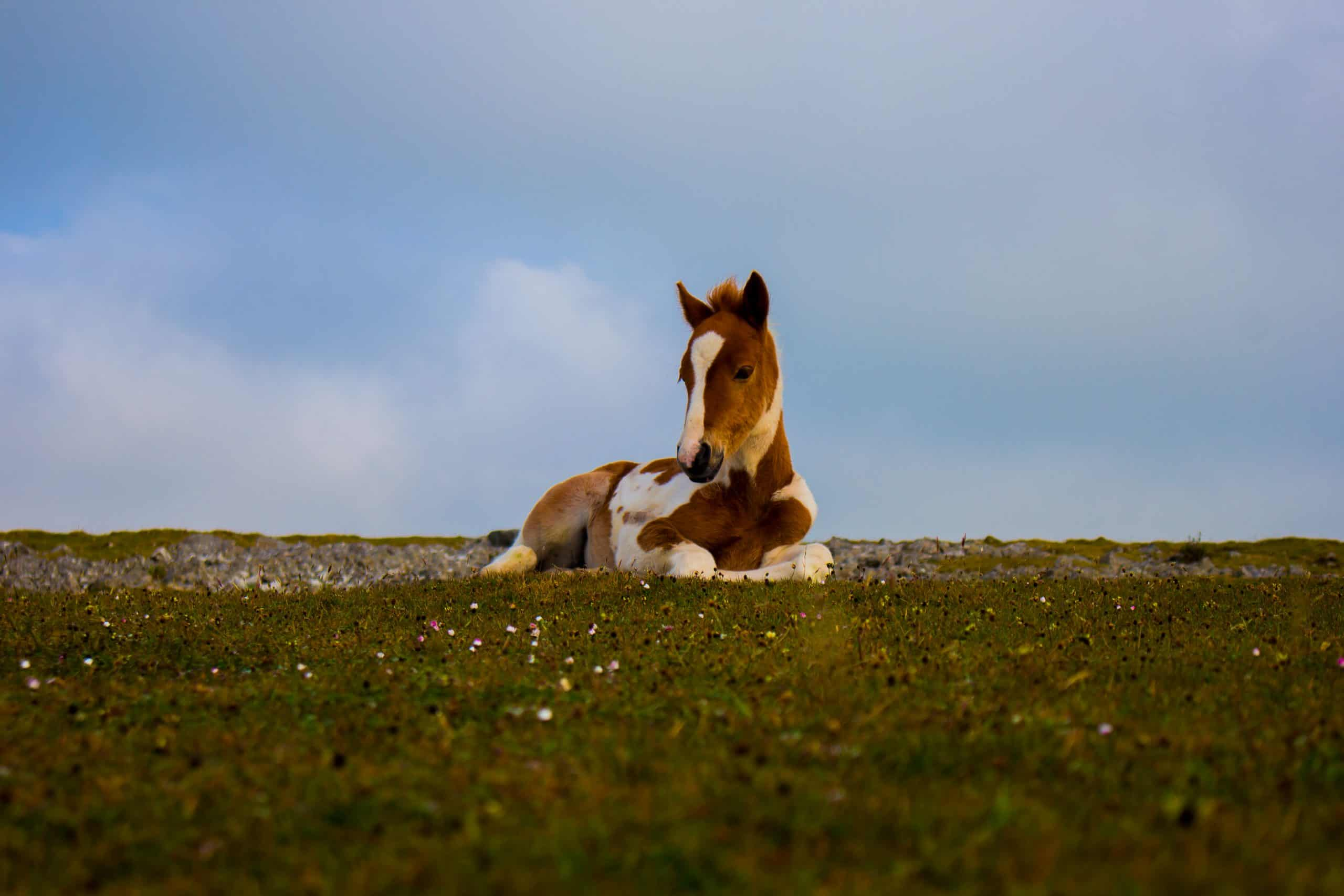 Photo of White and Brown Foal Lying Down on Grass