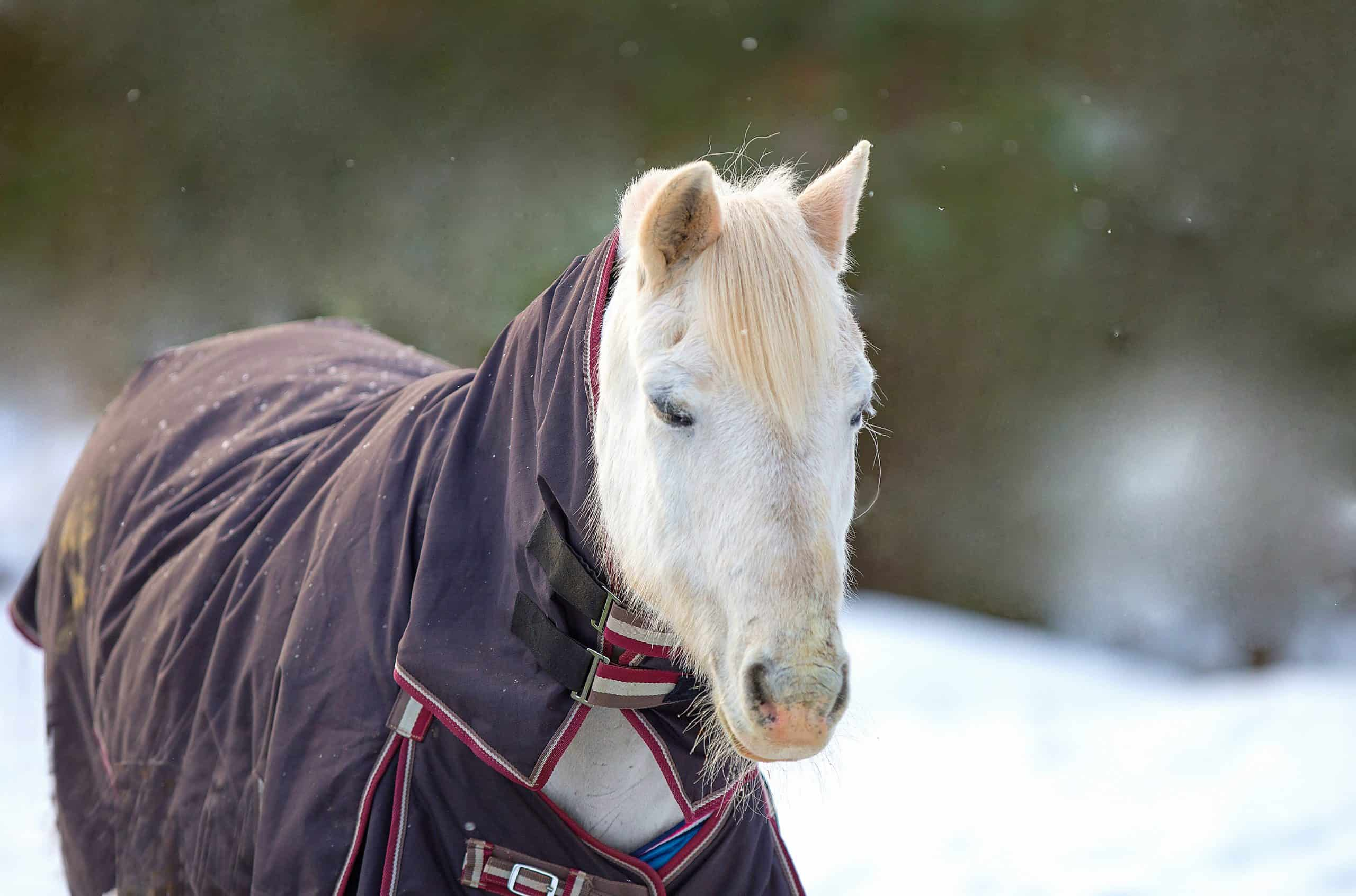 A closeup portrait of a white horse in a horse blanket, in a snowy winter setting.