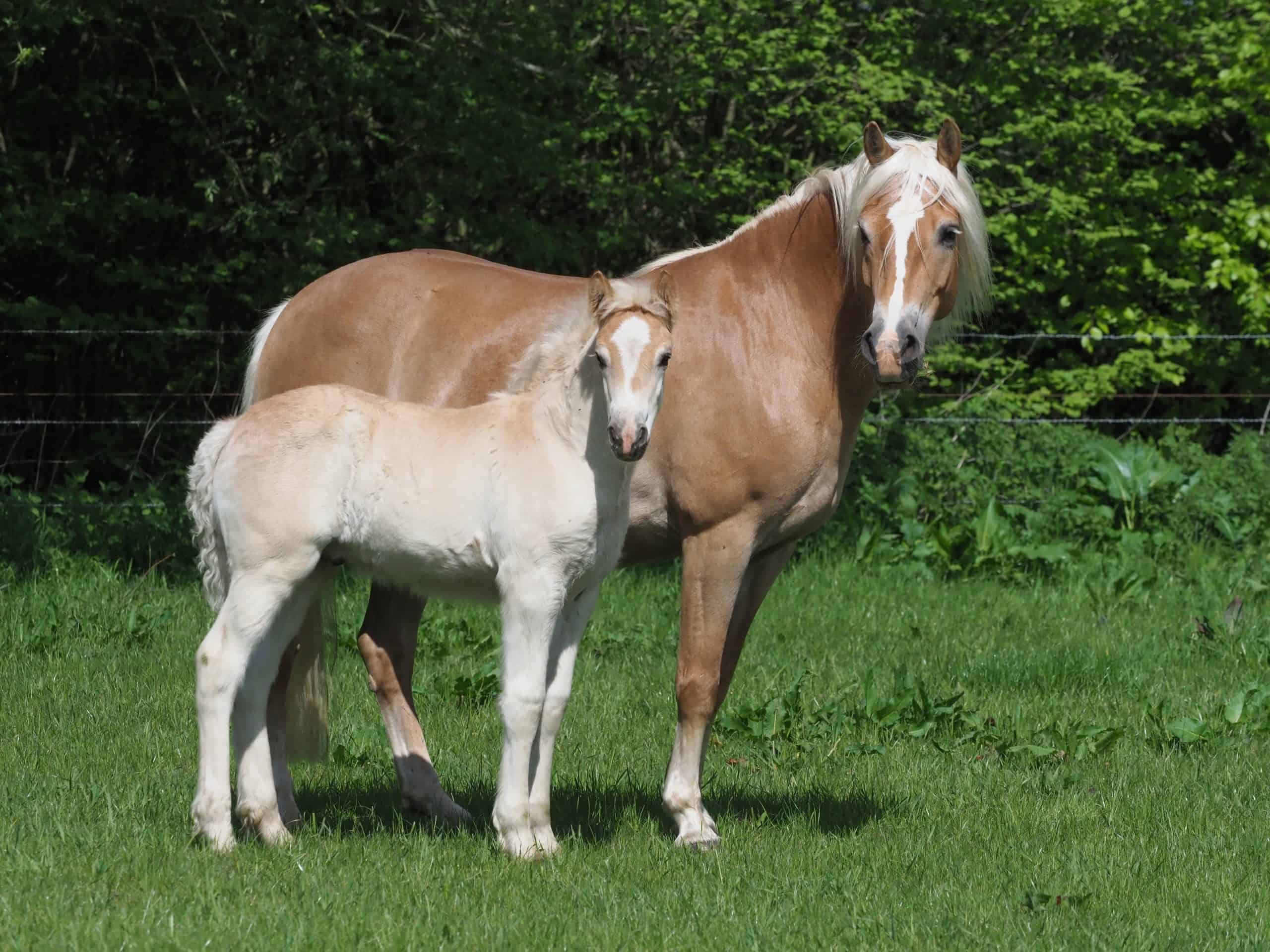 A pretty Haflinger mare and foal stand in a summer paddock.