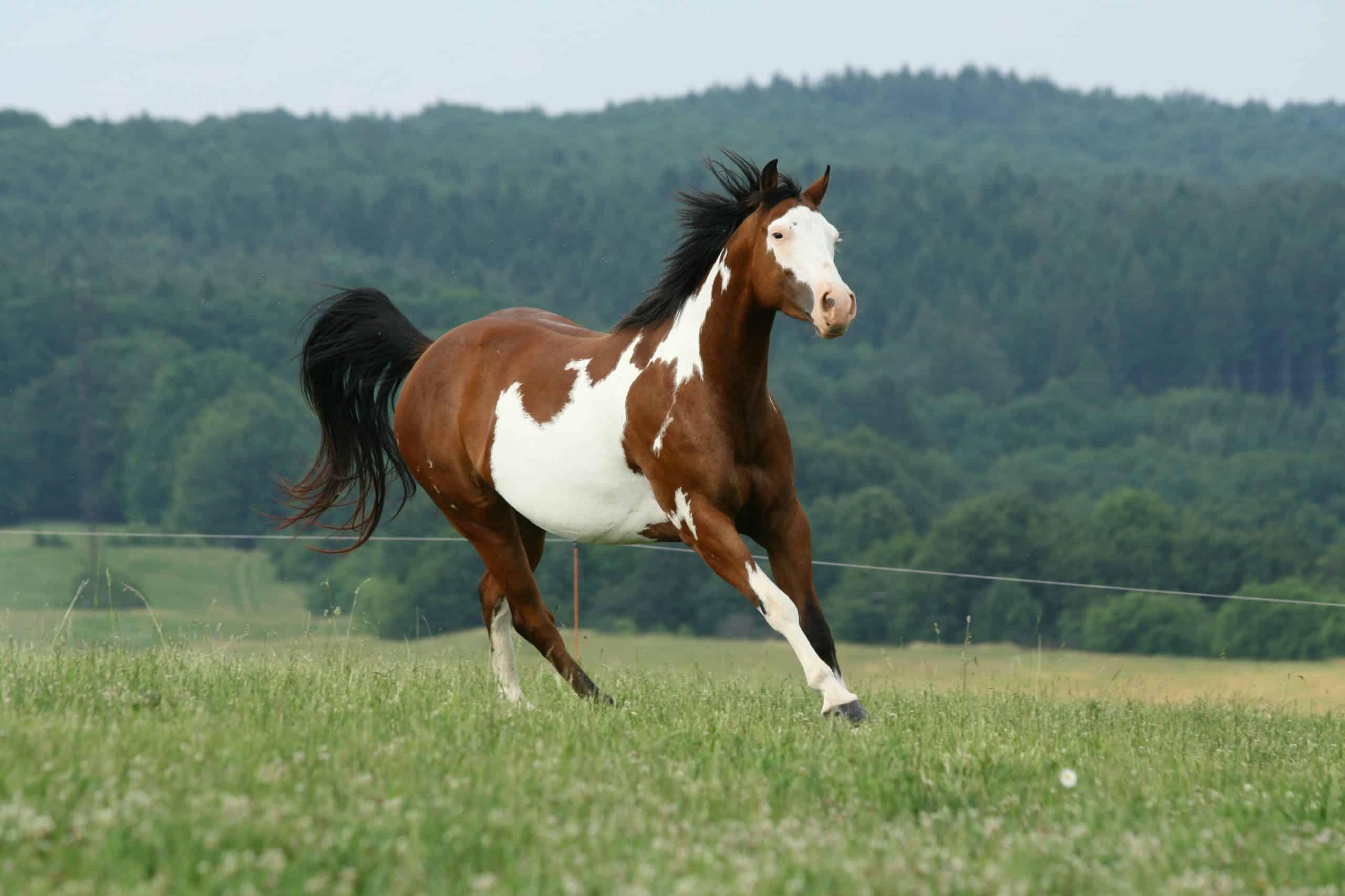 Running paint horse mare
