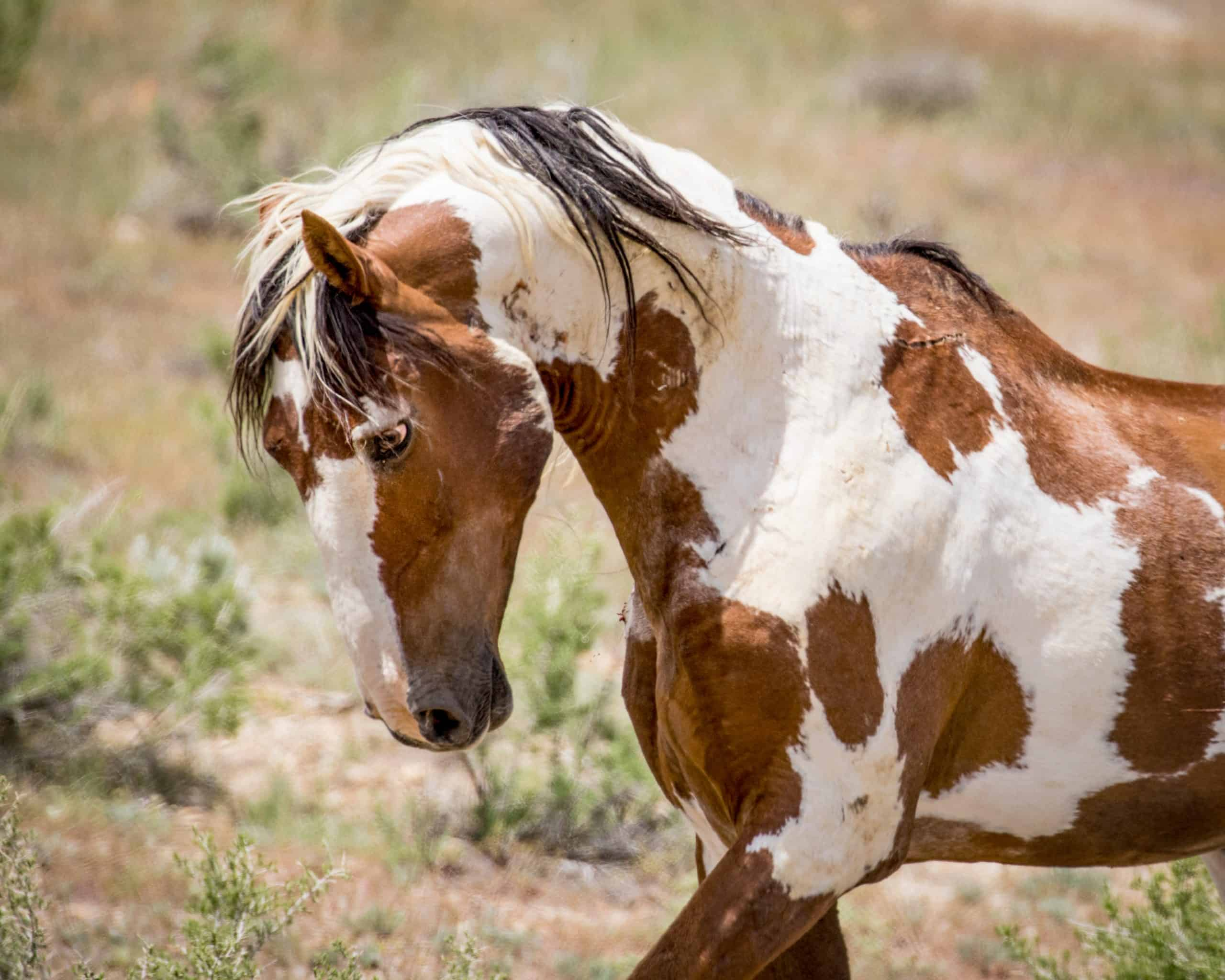 Meet Picasso: The Most Famous Wild Mustang In America
