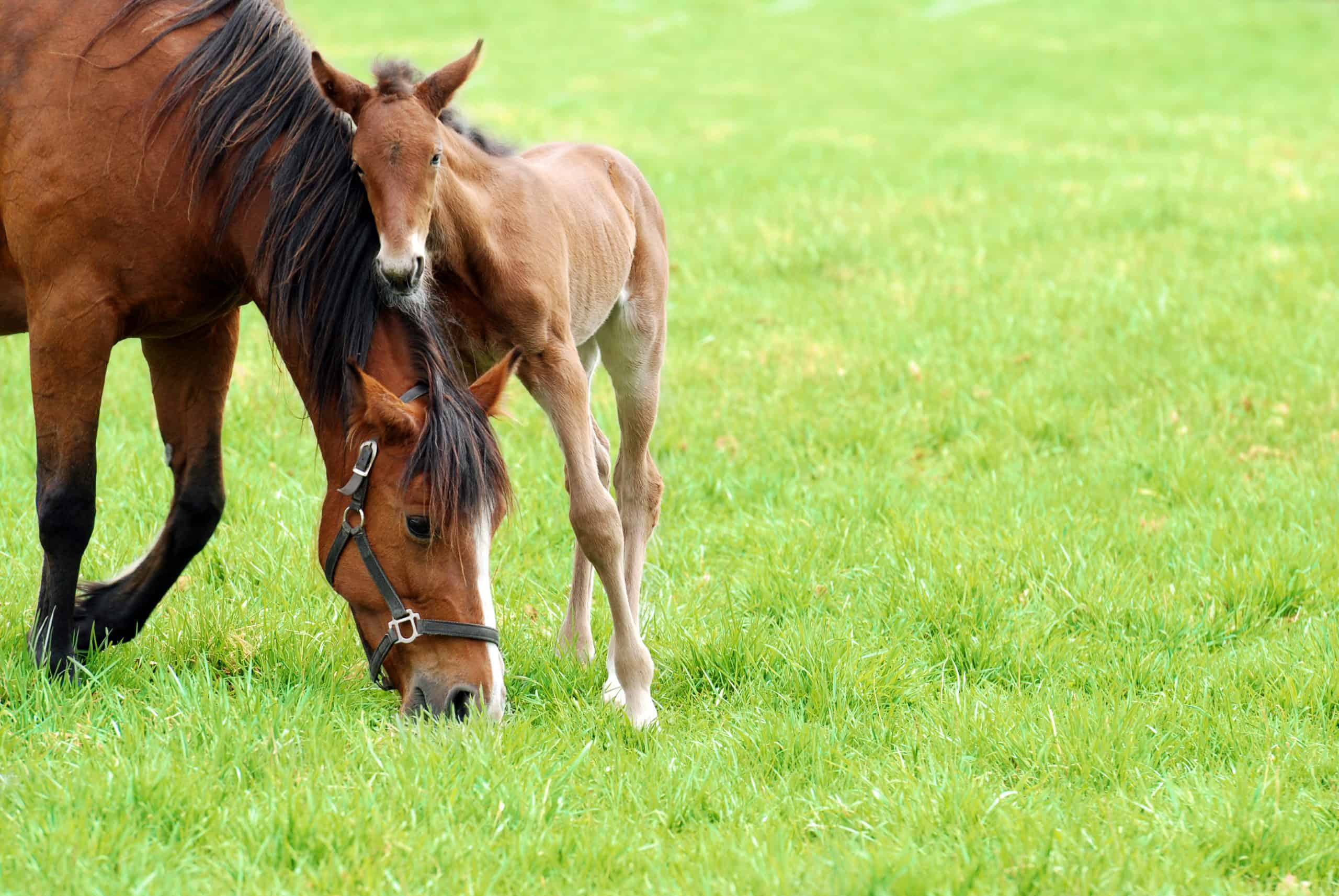 closeup of a mare and her foal on green grass