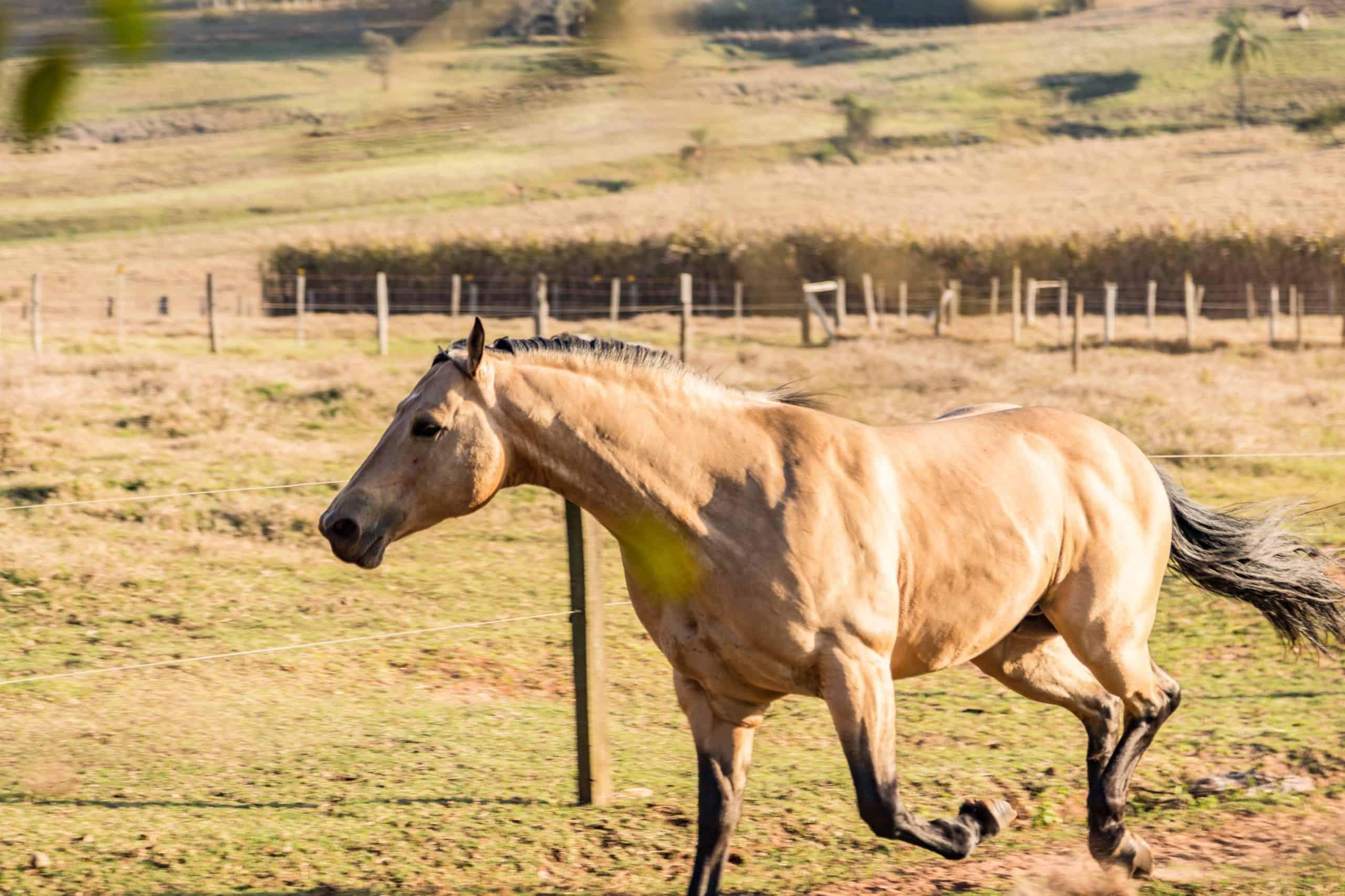 American Quarter Horse buckskin Stallion running