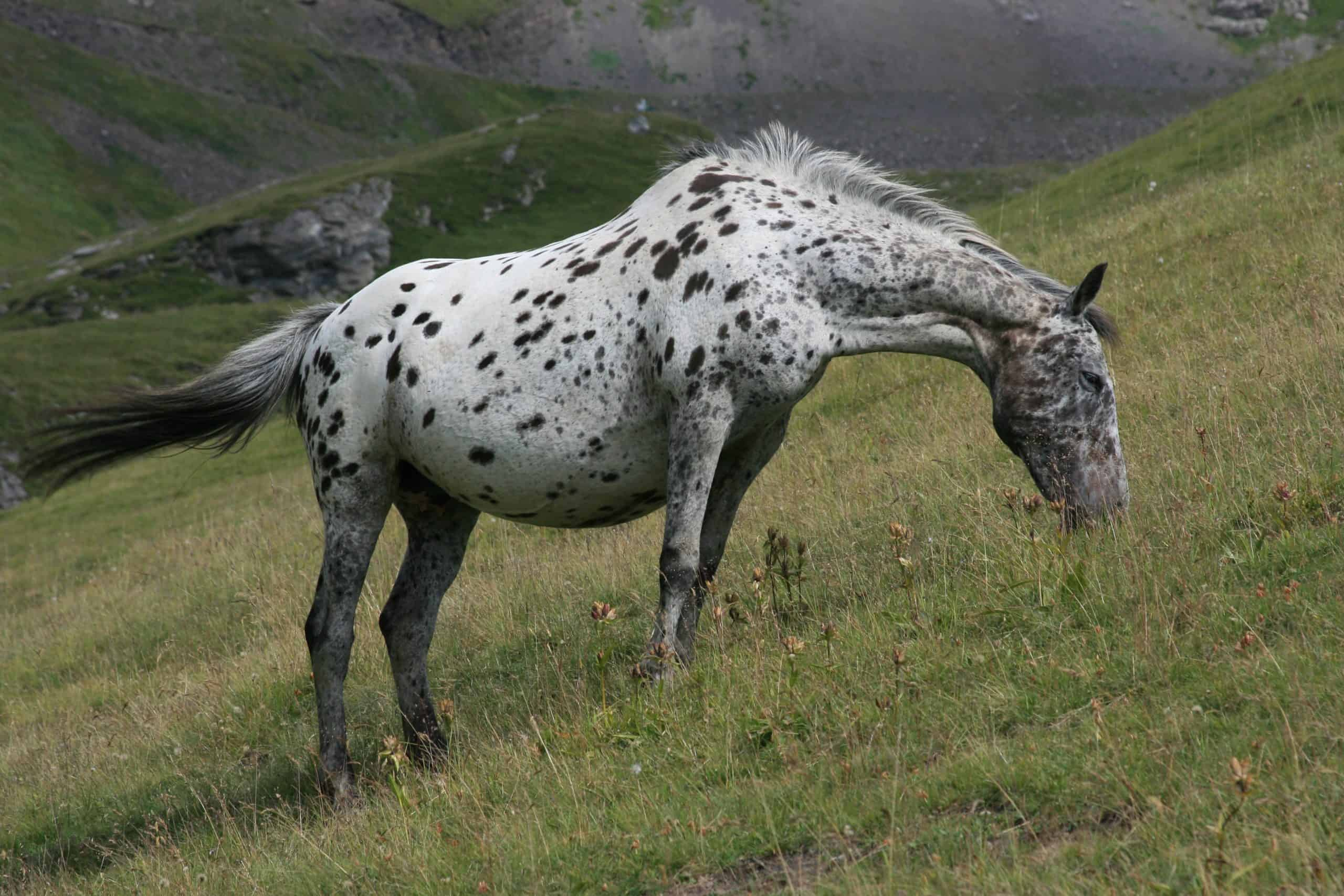 An Appaloosa Horse eating in wild pastures in French Alps.