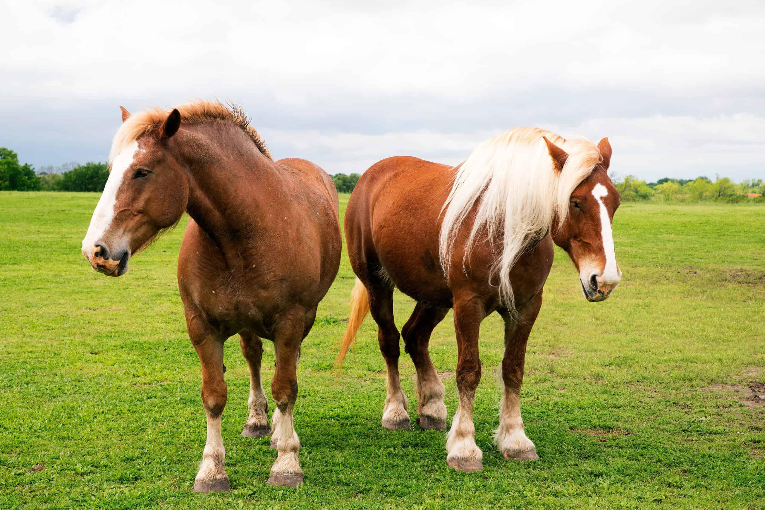 Belgian draft horses near Ennis, Texas